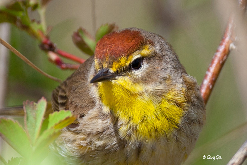 Palm Warbler Close-up