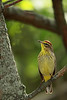 Palm Warbler @ Magee Marsh Wildlife Area - May 2009