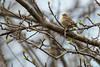5-16-14 Palm Warbler 3