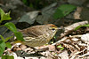 Palm Warbler @ Magee Marsh - May 2007