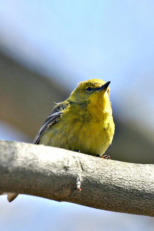 Pine Warbler @ Scioto Trails State Park - April 2006