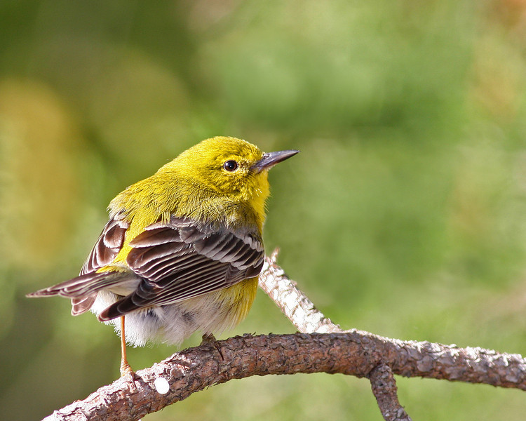 Pine Warbler @ Shawnee State Forest - April 2012