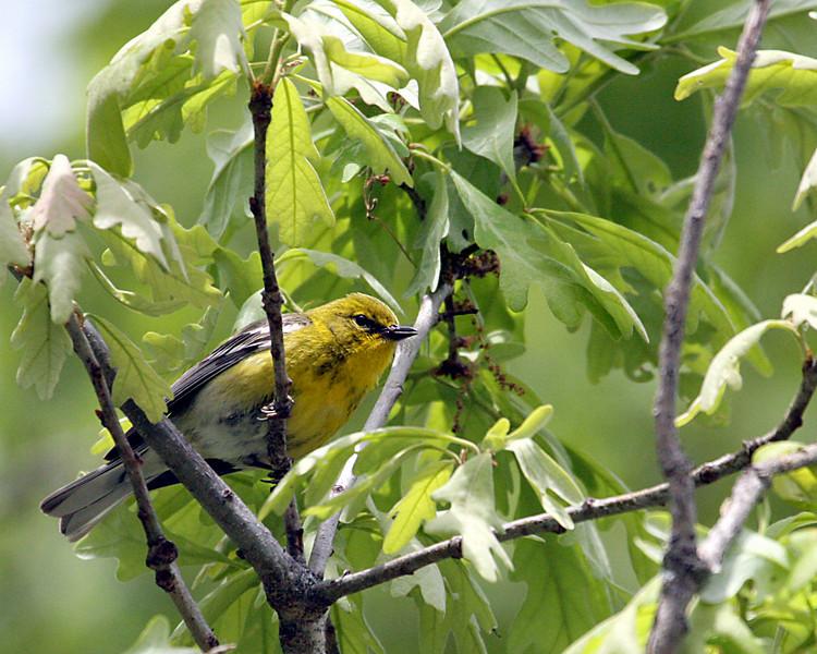 Pine Warbler @ Oak Openings - May 2010