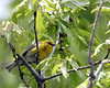 Pine Warbler @ Oak Openings - May 2010