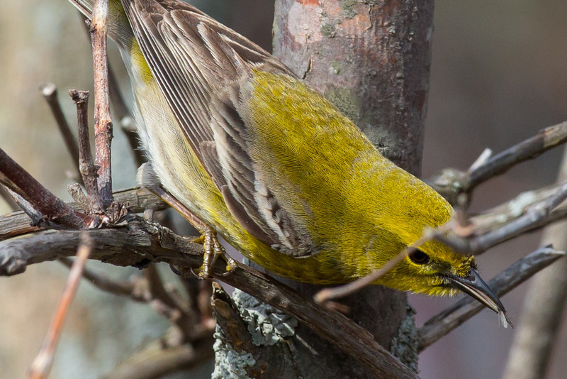 Pine Warbler with insect