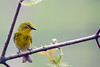 Pine Warbler @ Shawnee State Forest - April 2009
