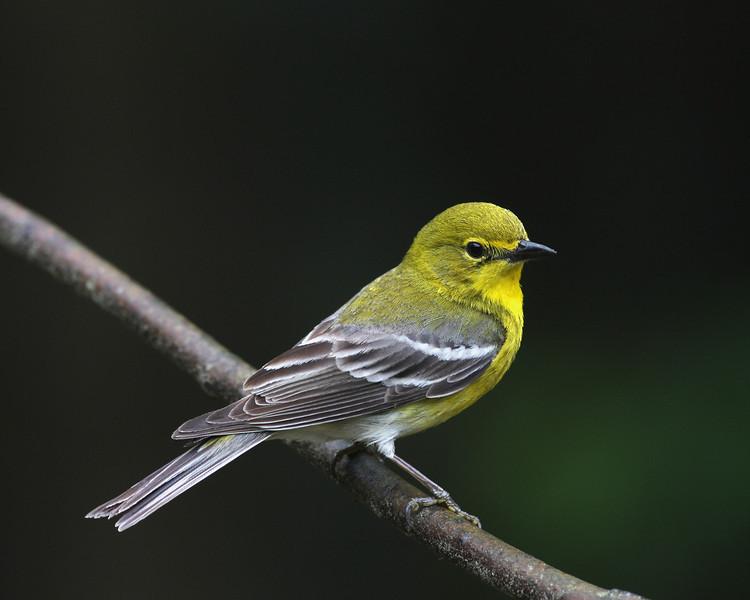 Pine Warbler @ Hocking Co. - May 2012