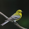 Pine Warbler @ Hocking Co. - May 2012