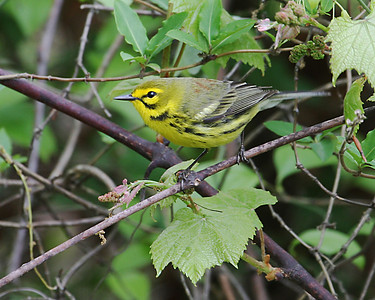 Prairie Warbler @ Cooper Hollow WA - April 2010