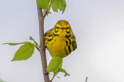 Prairie Warbler @ Hocking Co - May 2015