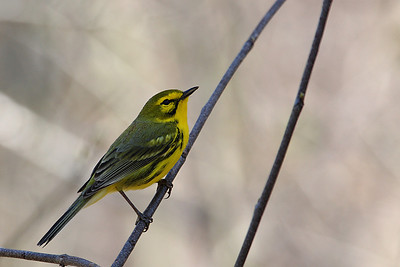 Prairie Warbler @ Zaleski State Forest - April 2009