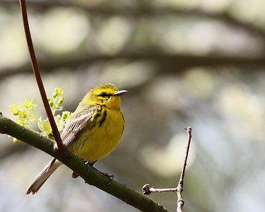 Prairie Warbler @ Clear Creek Metro Park - April 2008