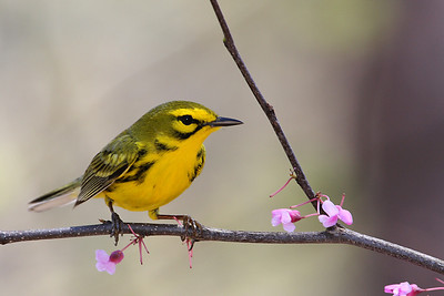 Prairie Warbler @ Zaleski State Forest, April 2009