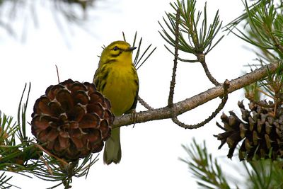 Prairie Warbler @ Clear Creek Metro Park - June 2005
