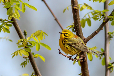 Prairie Warbler @ Shawnee State Forest - April 2015