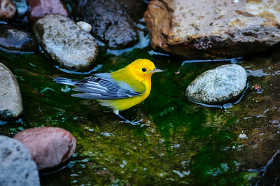 Prothonotary Warbler 0559