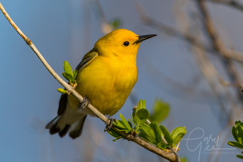 Prothonotary Warbler Image