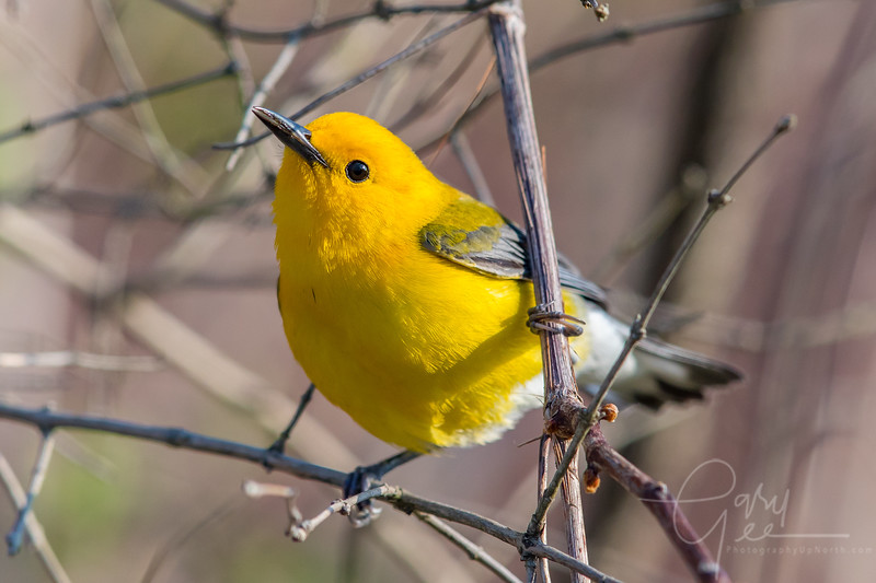 Cute Prothonotary Warbler