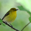 Prothonotary Warbler (Female) @ Magee Marsh WA, May 2010