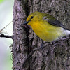 Prothonotary Warbler @ Magee Marsh WA, May 2010