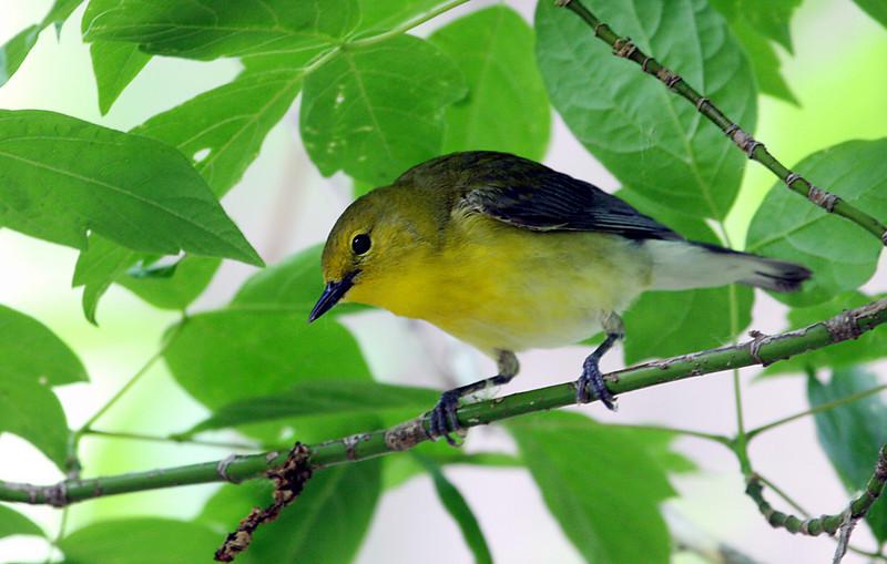 Prothonotary Warbler @ Magee Marsh WA, May 2010