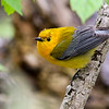 Prothonotary Warbler @ Magee Marsh SP, OH - May 2016