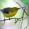 Warbler @ Magee Marsh WA, May 2010