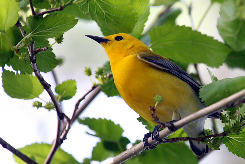 Prothonotary Warbler @ Magee Marsh WA - May 2010