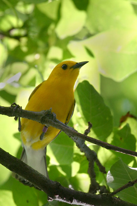 Prothonotary Warbler @ Hoover - June 2005