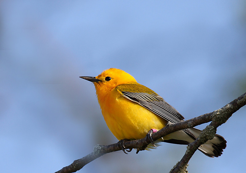 Prothonotary Warbler @ Hoover Reservoir - May 2008