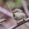 Tennessee Warbler  @ Magee Marsh WA - May 2016