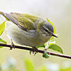 Tennessee Warbler @ Magee Marsh SP, OH - May 2016