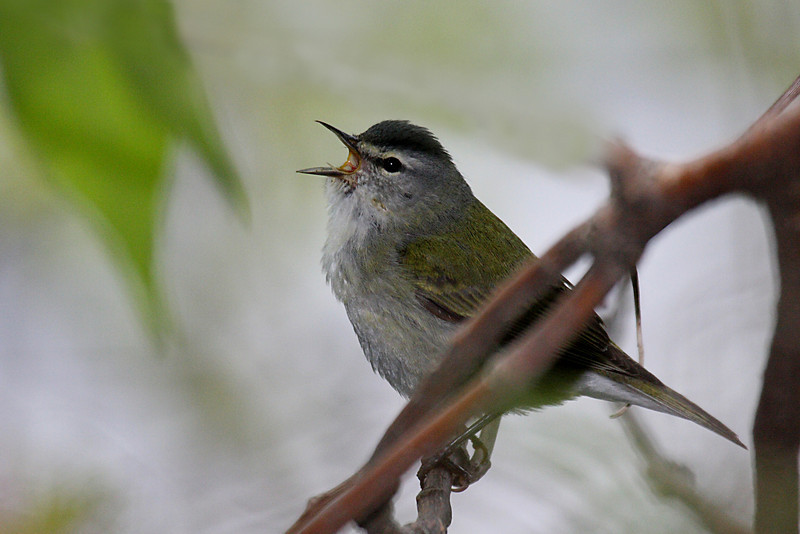 Tennessee Warbler @ Magee Marsh May 2009