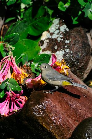 Virginia's Warbler B7330