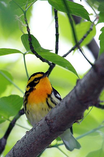 Blackburnian Warbler @ Magee Marsh Wildlife Area - May 2009 (Male)