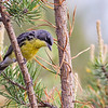 Kirtland's Warbler - Presque Isle County, MI, May 2016