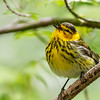 Cape May Warbler @ Magee Marsh SP, OH - May 2016