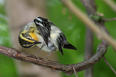 Blackburnian Warbler (Female) @ Magee Marsh - May 2008