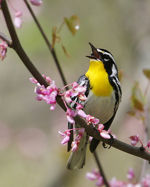 Yellow-throated Warbler @ Shawnee State Forest - April 2010