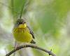 Canada Warbler (Female) @ Magee Marsh WA - May 2010