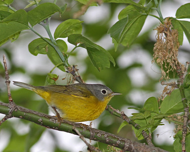 Nashville Warbler @ Magee Marsh - May 2013