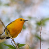 Prothonotary Warbler @ Magee Marsh - May 2014