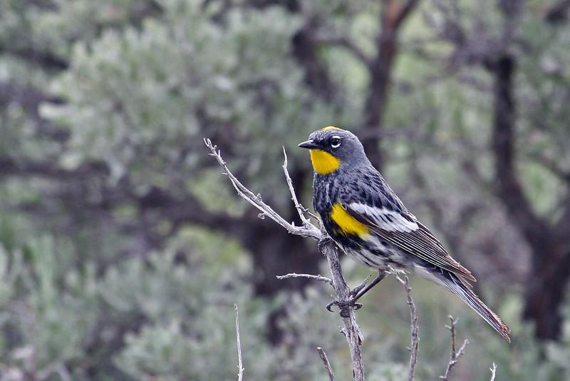 Yellow-rumped Warbler (Audubon's) @ Yellowstone NP, WY - June 2011