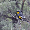 Yellow-rumped Warbler (Audubon's) @ Yellowstone NP, WY - June 2011