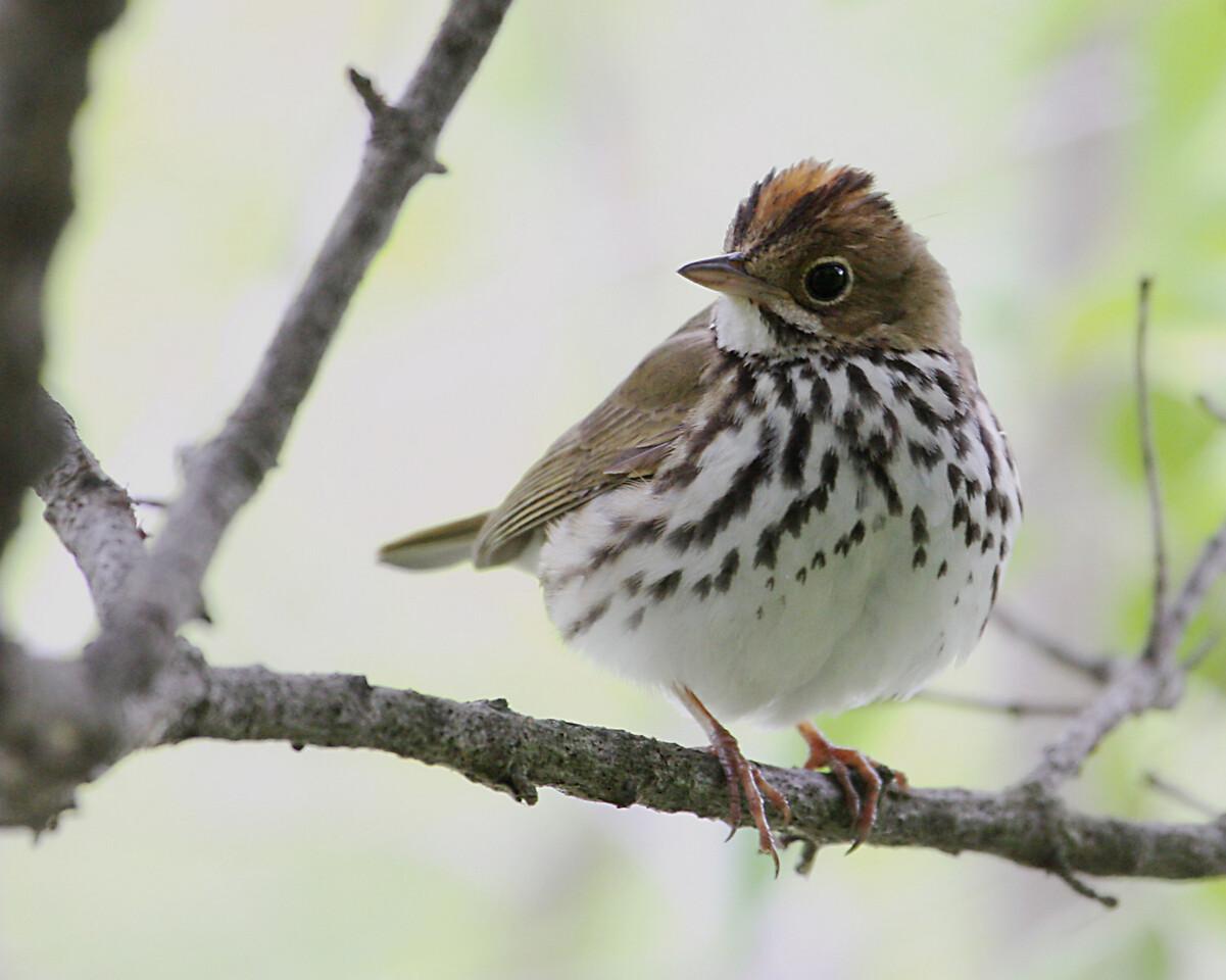 Ovenbird @ Magee Marsh WA - May 2010