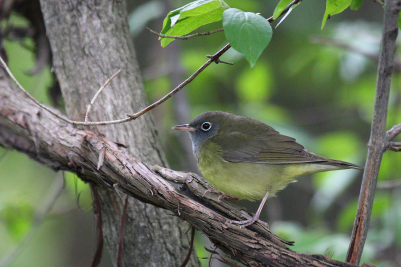 Connecticut Warbler @ Magee Marsh - May 2008