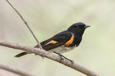 American Redstart @ Magee Marsh - May 2014