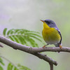 Tropical Parula @ Edinburg Scenic Wetlands, TX - Feb 2014
