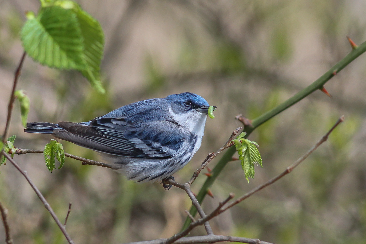 Cerulean Warbler @ Shawnee State Forest - April 2015