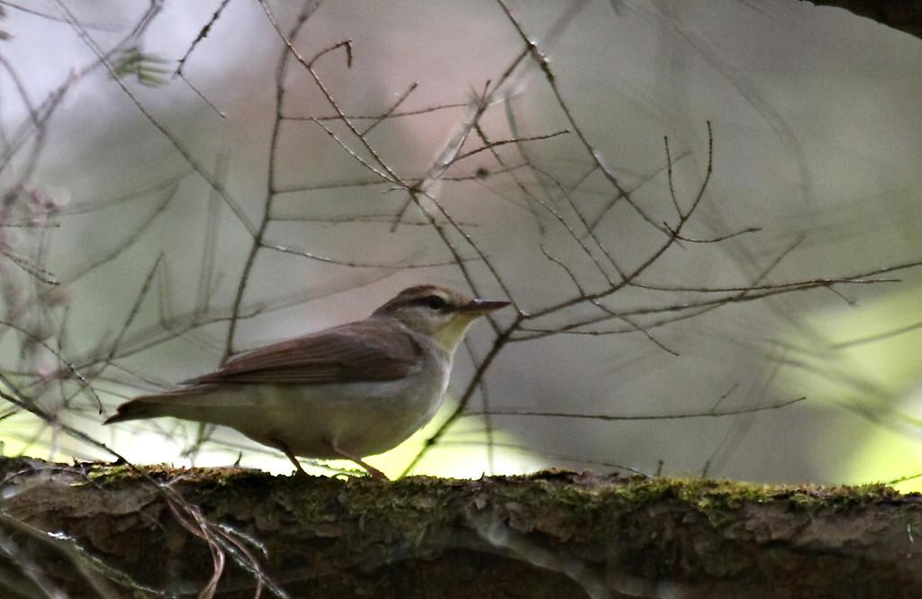 Swainson's Warbler @ Cades Cove TN - May 2008